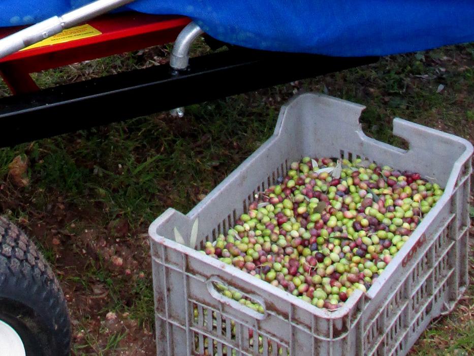 Ombrello Per la Raccolta Delle Olive e Frutti Pendenti ...